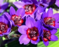 Бабиана. Клубнелуковичный садовый цветок