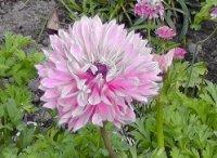 Лютик или ранункулюс. Садовый цветок