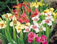 Тигридия. Садовый цветок