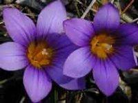 Брандушка. Клубнелуковичные садовые цветы