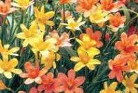 Гомерия. Клубнелуковичный садовый цветок