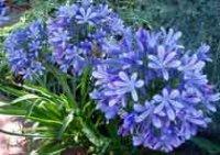 Агапантус. Многолетний садовый цветок