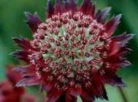 Астранция. Многолетний садовый цветок