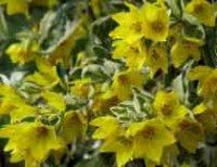 Вербейник или лизимах. Садовый цветок