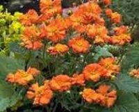 Гравилат. Многолетний садовый цветок