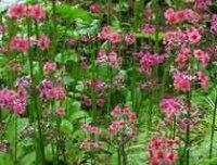 Дармера или пельтифиллиум. Садовый цветок
