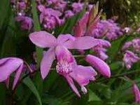 Блетилла. Многолетний садовый цветок