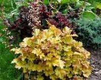 Гейхера. Дикорастущий саловый цветок