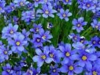 Лён. Дикорастущее садовое растение