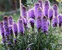 Лиатрис. Многолетний садовый цветок