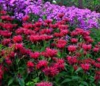 Монарда. Многолетний садовый цветок