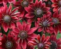 Рудбекия. Дикорастущий цветок