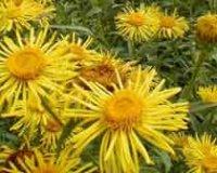 Девясил. Многолетний садовый цветок