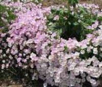 Энотера. Дикорастущий садовый цветок