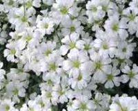 Ясколка. Садовый цветок.