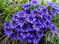 Горечавка. Дикорастущий многолетний цветок