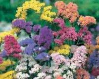 Кермек, Лимониум или Статице. Садовый цветок