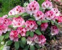 Рододендрон. Декоративный садовый цветок