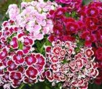 Гвоздика турецкая. Садовый цветок