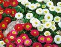 Маргаритка. Декоративный садовый цветок