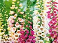 Наперстянка. Декоративный садовый цветок