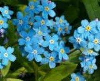 Незабудка. Декоративный цветок