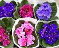 Фиалка садовая. Декоративный цветок