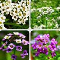 Алиссум. Декоративный садовый цветок