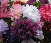 Астра. Декоративный садовый цветок
