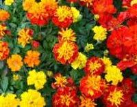 Бархатцы. Декоративные садовые цветы