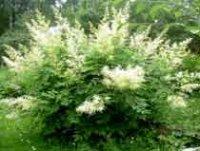Арункус или Волжанка. Садовый цветок