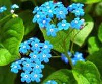 Бруннера. Многолетний садовый цветок