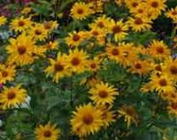 Гелиопсис. Садовый цветок
