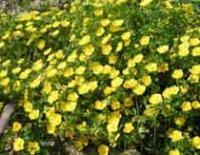 Лапчатка. Многолетний садовый цветок