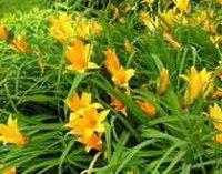 Лилейник. Многолетний садовый цветок