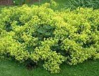 Манжетка. Многолетний садовый цветок