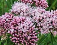Посконник или евпаториум. Садовый цветок