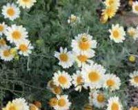 Пупавка. Многолетний садовый цветок