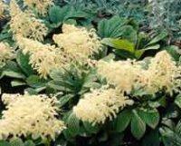 Роджерсия. Садовый многолетний цветок