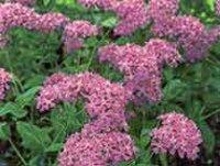 Смолевка. Многолетний садовый цветок