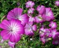 Куколь или Агростемма. Садовый цветок