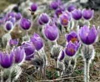 Сон-трава или Прострел. Садовый цветок