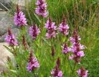 Дербенник, Литрум или Плакун-трава