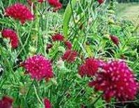 Короставник. Многолетний садовый цветок