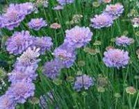 Скабиоза. Дикорастущий садовый цветок