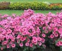 Лаватера или хатьма. Садовый цветок