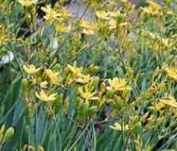 Беламканда китайская или Тюльпанное дерево