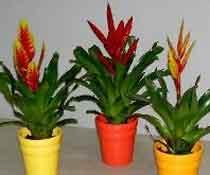 Комнатные цветы ананас фото