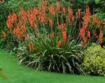 Утсония. Многолетний садовый цветок