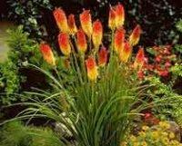 Книфофия. Садовый цветок